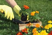 Potting Flowers — Stock Photo