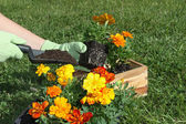 Planting Flowers — Stock Photo
