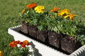 Potting colorful flowers outdoors during spring — Stock Photo