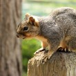 Close up of squirrel sitting on wooden pole — Stock Photo #77025541