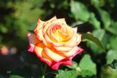 Rosa gialla — Foto Stock