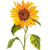 Sunflower isolated on white background — Stock Photo