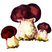 Porcini mushrooms. Cep on white background — Stock Photo