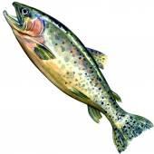 Silberlachs fisch auf weißem hintergrund — Stockfoto