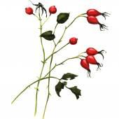 Branch rosehip berries — Stock Photo