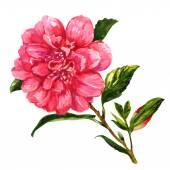 Roze thee rose geïsoleerd op witte achtergrond — Stockfoto