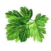 Fresh green parsley on white background. — Stock Photo