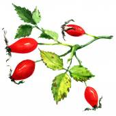 Rose hips isolated on white background — Stock Photo