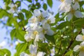 Jasmine flower growing on the bush in garden — Stock Photo