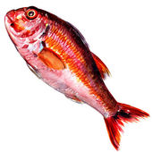 Red mullet fish isolated watercolor on white background — Stock Photo