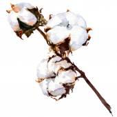 Bavlna rostlin kvetou izolované, akvarel malba — Stock fotografie