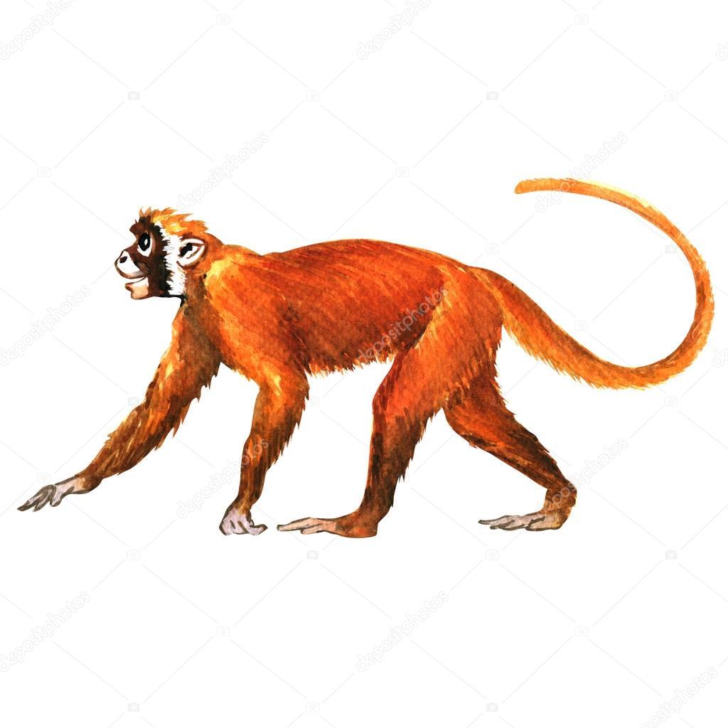red monkey animal isolated stock photo deslns 83702046. Black Bedroom Furniture Sets. Home Design Ideas