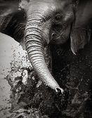 Elephant splashing water — Stockfoto