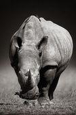 White Rhinoceros  in due-tone — Stock Photo
