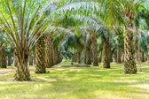 Palm oil tree — Stock Photo