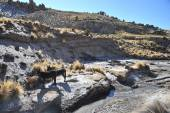 Donkeys in the vastness of the Altiplano — Stock Photo