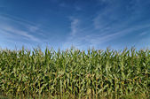 Beautiful green field of corn under a blue sky — 图库照片