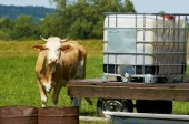 Brown female cow by water place — Stock Photo