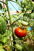 Fresh vegetable red tomato still on the plant ready for picking in greenhouse — Stock Photo