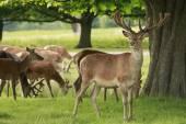 Red deer herd grazing — Stock Photo