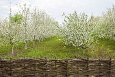 Flowering Apple trees — Stock Photo