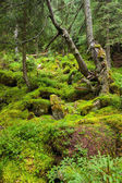Carpathian forest — Stock Photo