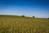 Wine Hills in Piedmont, Northern Italy — Stock Photo