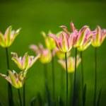 Tulips — Stock Photo #71114865