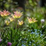 Tulips — Stock Photo #71115107