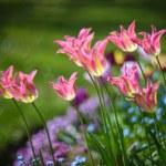 Tulips — Stock Photo #71115729