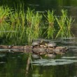 Couple of turtles sitting on a log — Stock Photo #68866983