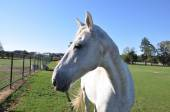 White speckled horse profile — Stock Photo