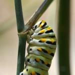 Black Swallowtail Caterpillar (Papilio polyxenes) — Stock Photo #62454517