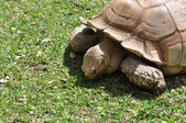 African Spur-Thighed Tortoise — Stock Photo