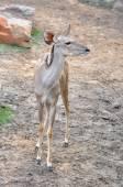 Female Greater Kudu — Stock Photo