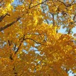 Yellow maple leaves against the blue sky — Stock Photo #70302909