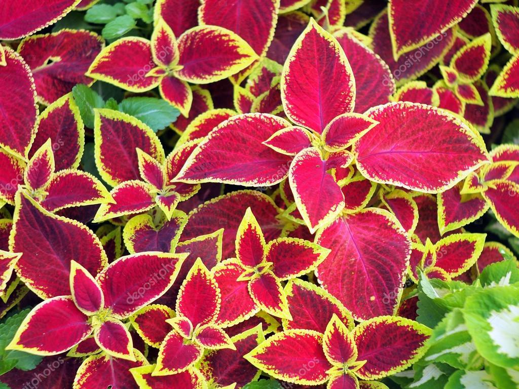 closeup de plantas coleus vermelho em um canteiro de. Black Bedroom Furniture Sets. Home Design Ideas