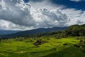 Field of rice — Stock Photo