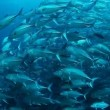 School of Jack fish — Stock Video #62391257
