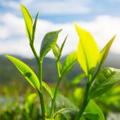 Camellia sinensis tea — Stock Photo