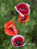 Flower of poppy — Stock Photo