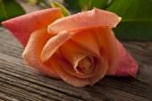 玫瑰隔离 — 图库照片