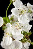 Květy třešní — Stock fotografie