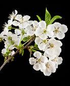 Blommor av körsbär — Stockfoto
