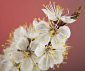 Flowers of apricot  — Stock Photo