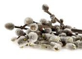 Pussy-willow on white — Stock Photo