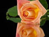 Rose on black — Stock Photo