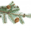 Branch of fir-tree — Stock Photo #59550853