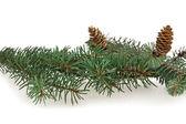 Branch of fir-tree — Stock Photo