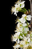 Flowers of cherry — Stock Photo